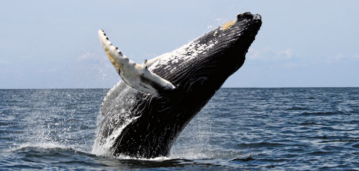whale-jumping
