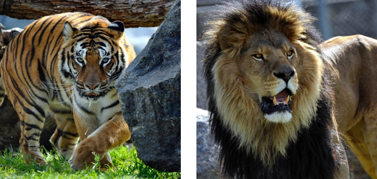 Lions Tigers & Bears in Alpine, California