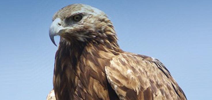 Living-Coast-Discovery-Center-eagle