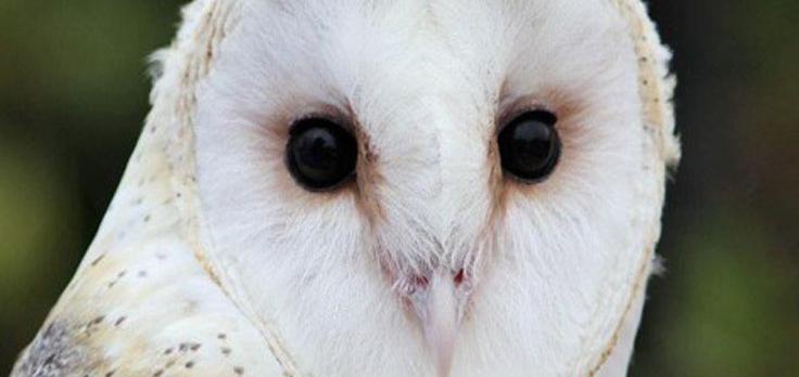 Raptor Row - Owl