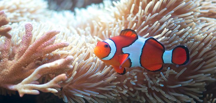 Clownfish at Birch Aquarium.