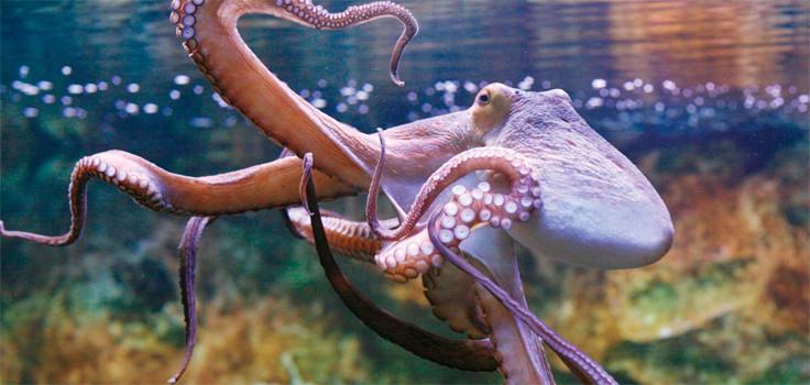 Birch Aquarium Octopus