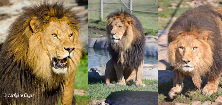 Bakari-African lion-Male-Coliage