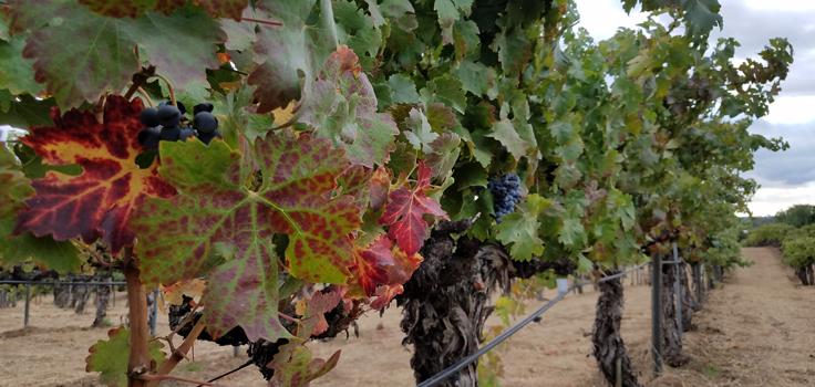 grapes-vines_160324