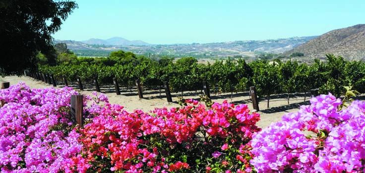 vineyard flowers scenic_154423