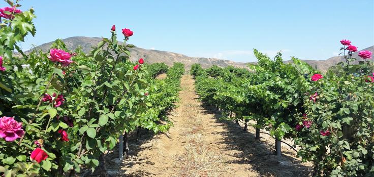 vineyards-flowers