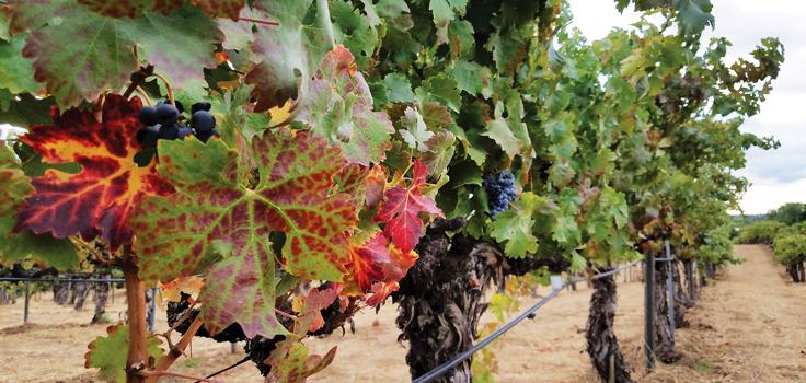 grapesvines160324TG